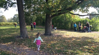 Single-standing oak where eggs of the Purple Hairstreak were found