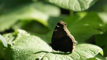 Mourning Cloak on the forest ground