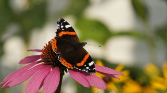 Red Admiral in our garden