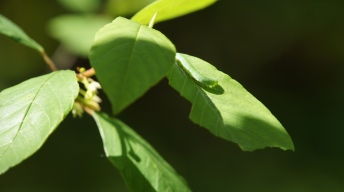 Caterpillar of the Brimstone on alder buckthorn