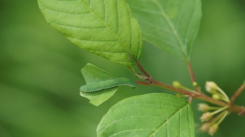 Caterpillar of the Brimstone on alder buckthorn