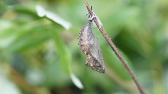 Chrysalis of the Red Admiral