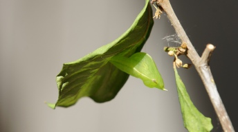 Chrysalis of the Common Brimstone