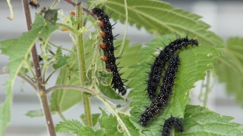Caterpillars of the European Peacock
