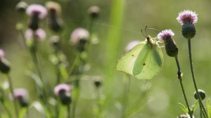 Common Brimstone in summer