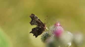 Ventral view on the Comma Butterfly