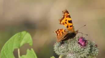 Comma soaking on thistle