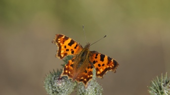 Dorsal view on Comma
