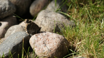 Mourning Cloak resting