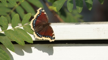 Mourning Cloak resting in the sun