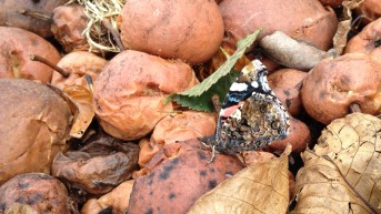 Red Admiral in disguise
