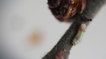 White-letter Hairstreak caterpillar on elm twig