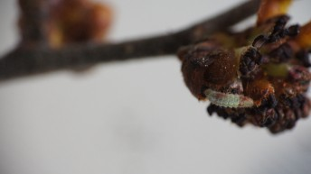 Caterpillar on flower bud
