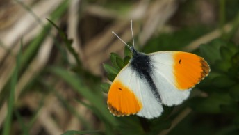 Male of the Orange Tip