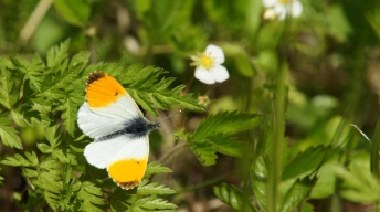 Orange Tip, male
