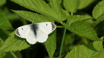 Orange Tip, female