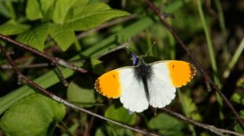 Male of the Orange Tip