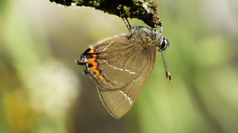 White-letter Hairstreak after hatching