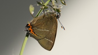 Freshly hatched White-letter Hairstreak