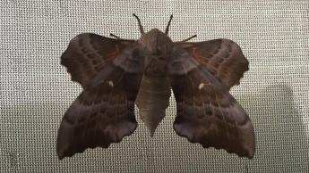 Female Poplar Hawk-moth