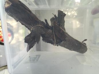 Poplar Hawk-moth on its way to attracting males