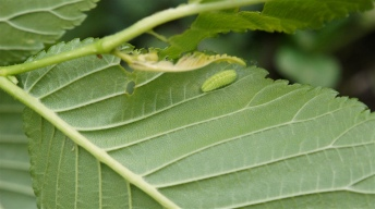 Caterpillar of the White-letter Hairstreak