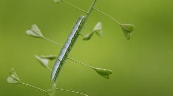 Caterpillar of the Orange Tip