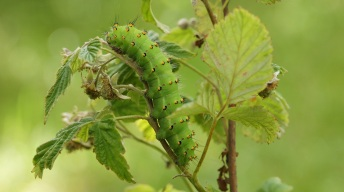 Caterpillar of the Small Emperor Moth