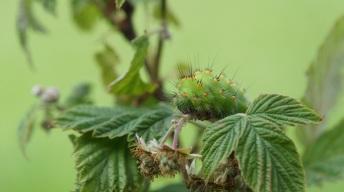 Caterpillar of the Small Emperor Moth