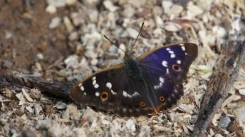 Lesser Purple Emperor