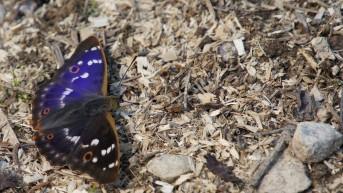 Lesser Purple Emperor (Apatura ilia)