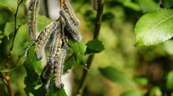 Caterpillars of the Buff-tip moth