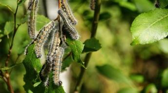 Caterpillars of the Buff-tip moth