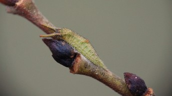 Hibernating caterpillar of the Purple Emperor