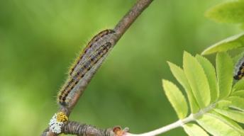Caterpillars of the Black-veined White