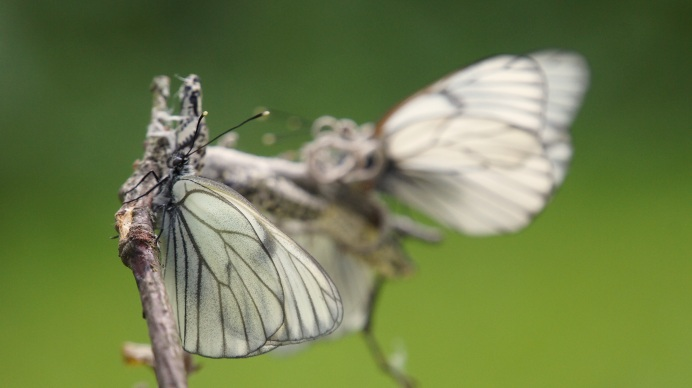 Black-veined White after hatching