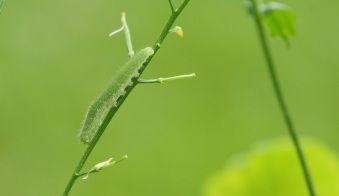 Caterpillar of the Green-veined White