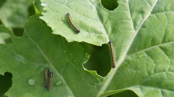 Caterpillars of the Large White