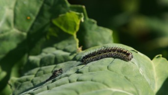 Caterpillar after moulting