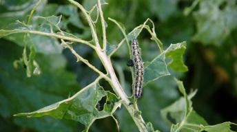 Adult caterpillar