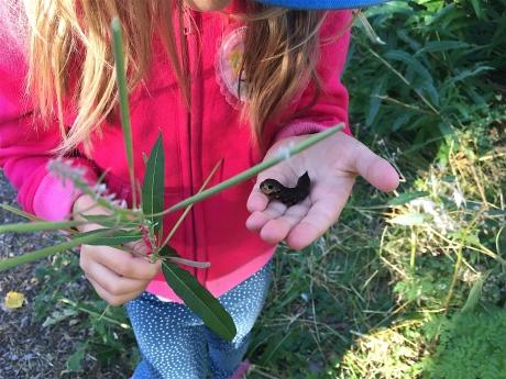 Caterpillar of the Elephant Hawk-moth