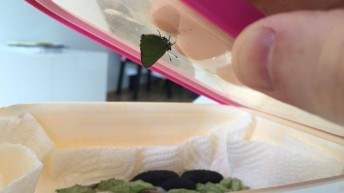 Green Hairstreak hatched in the overwintering box