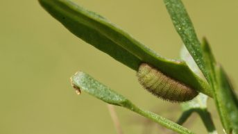 Caterpillar of the Small Copper