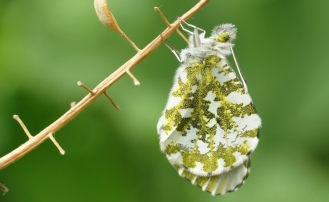 Freshly hatched female Orange Tip