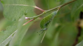 Caterpillar in captivity