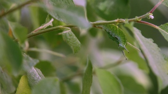 Caterpillar of the Purple Emperor