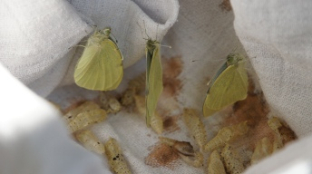 Large white butterflies after hatching