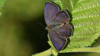 Purple hairstreak, male
