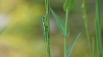 Caterpillar of the Orange Tip
