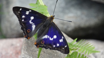 Purple emperor, male